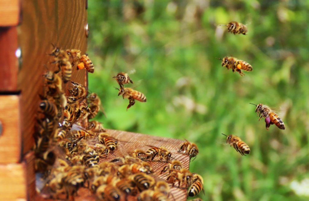 honey bees near hive