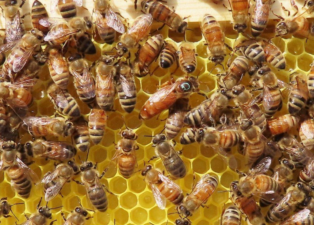 queen bee in hive
