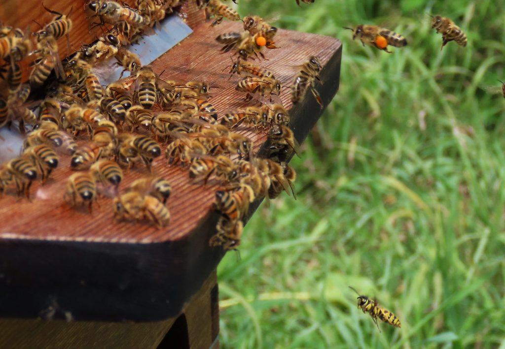 yellowjacket below hive