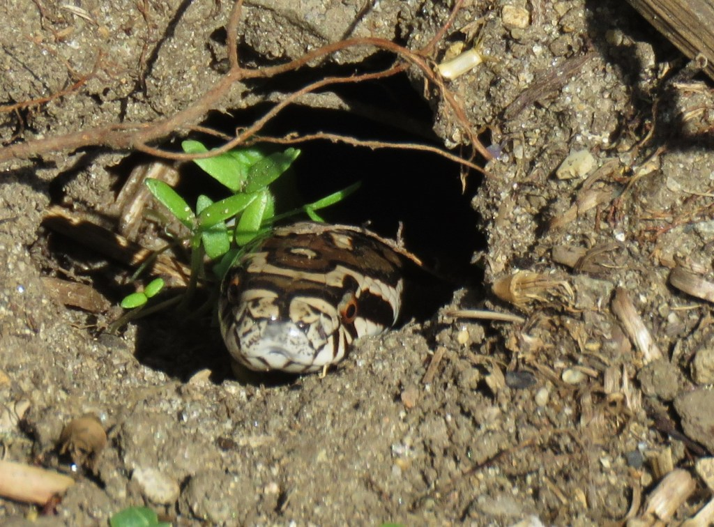 milk snake burrow