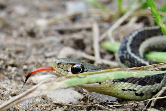snake with tongue out