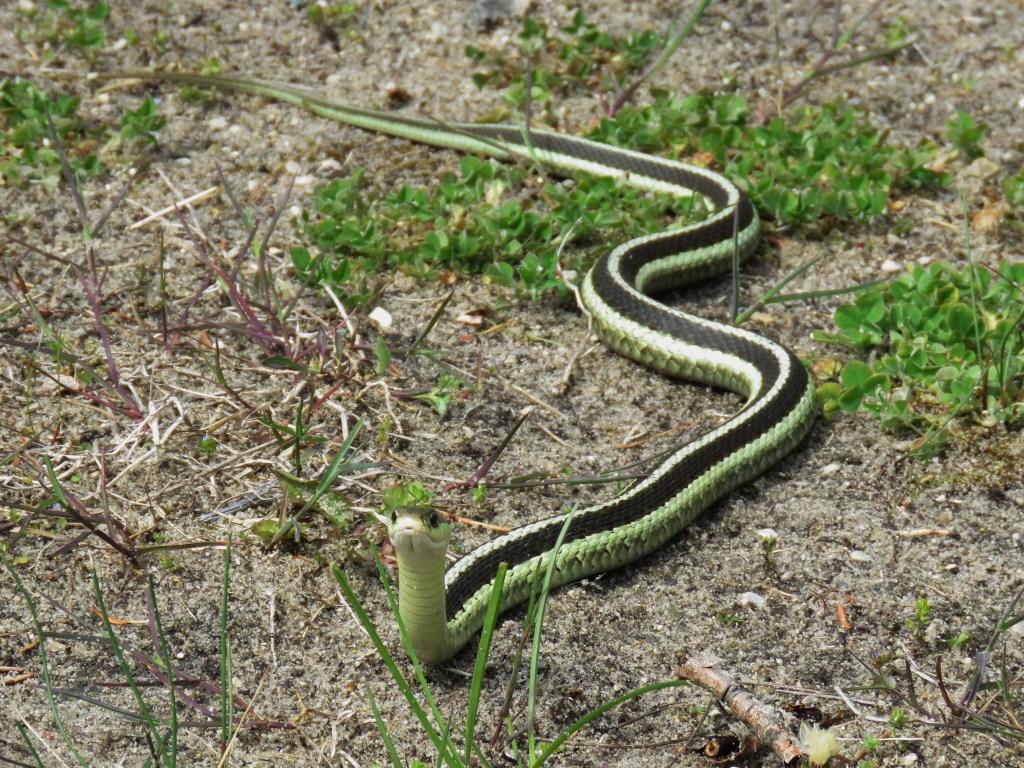 long skinny snake