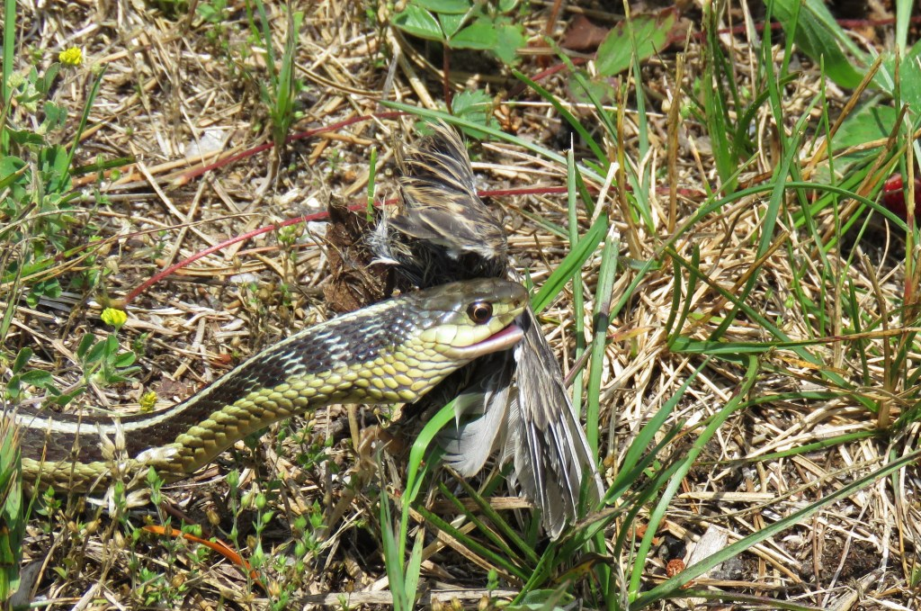 snake eating small bird