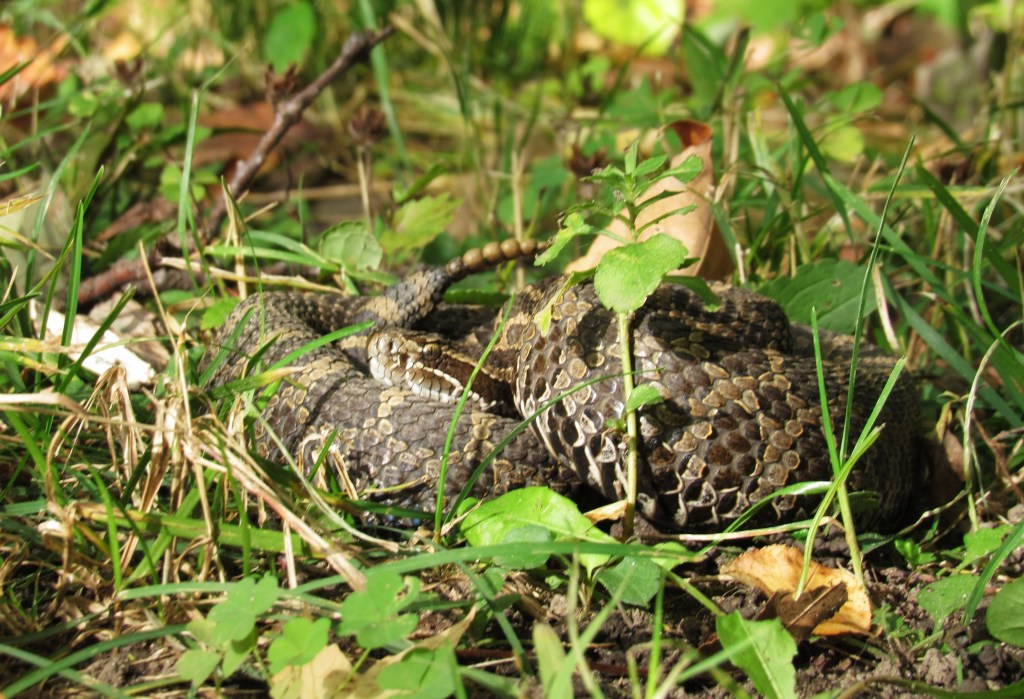 rattlesnake hidden in greenery