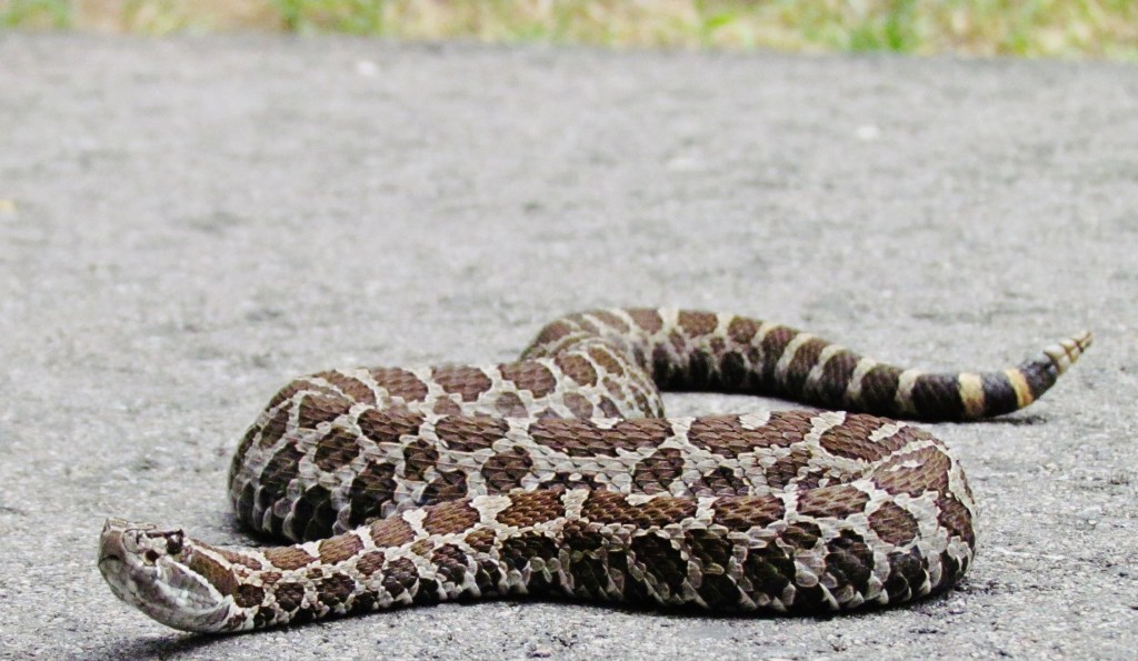 rattlesnake