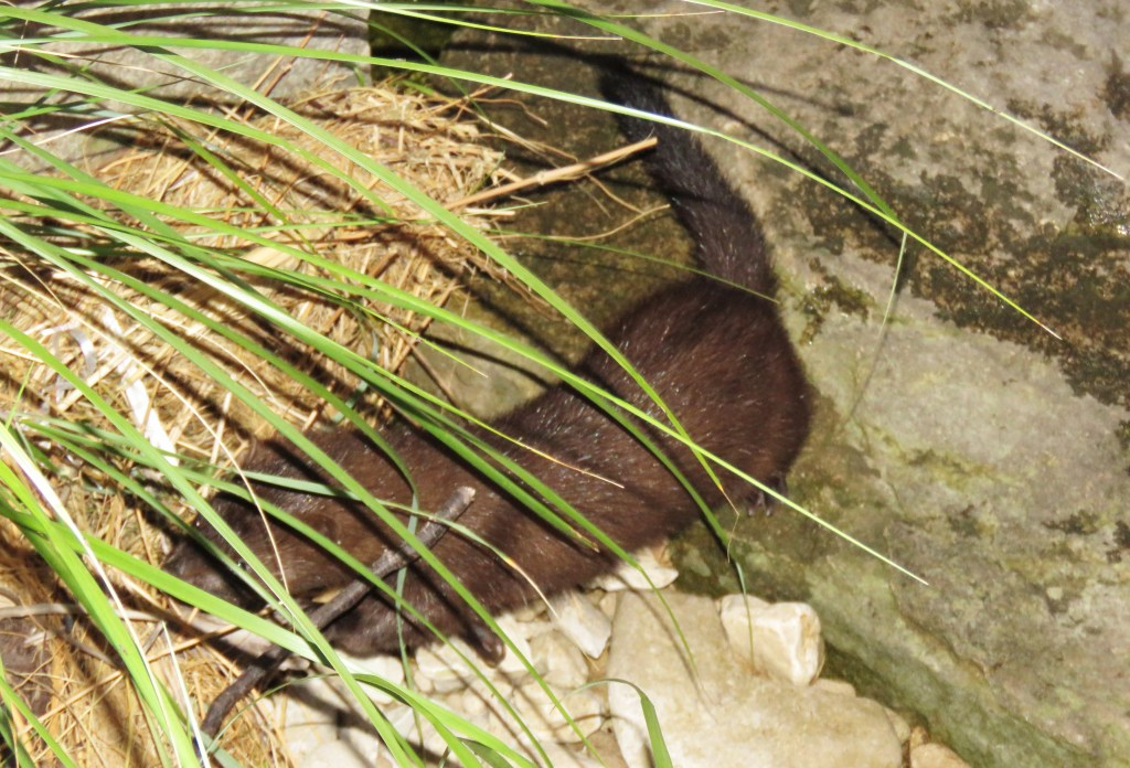 mink behind plant
