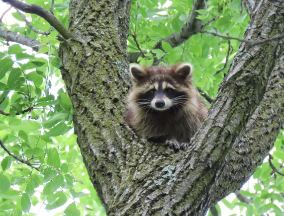 raccoon in tree branch