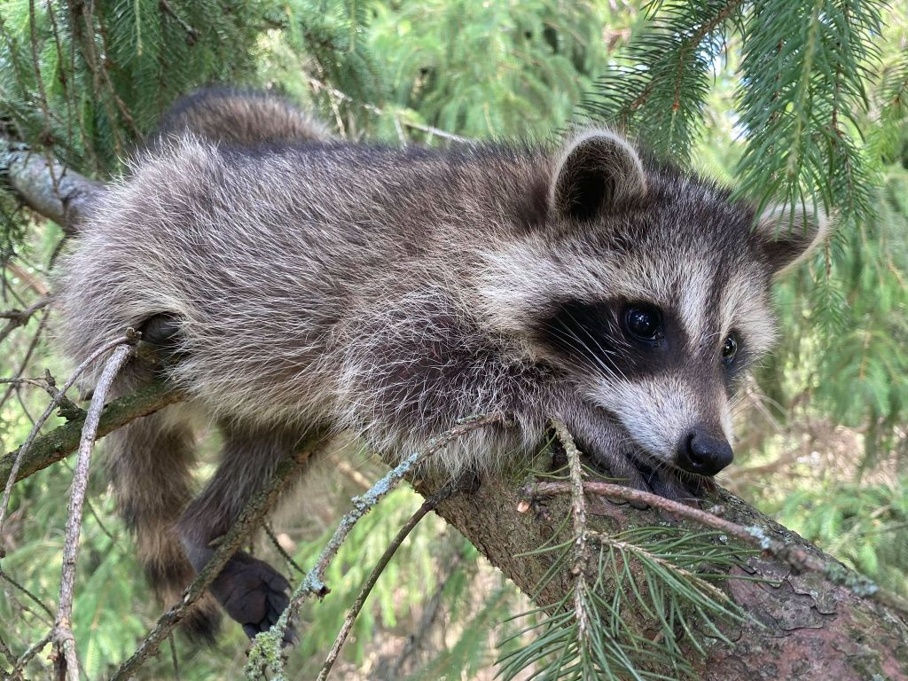raccoon on tree branch