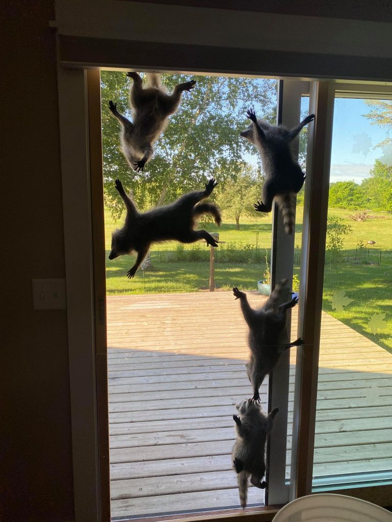 five raccoons on screen door