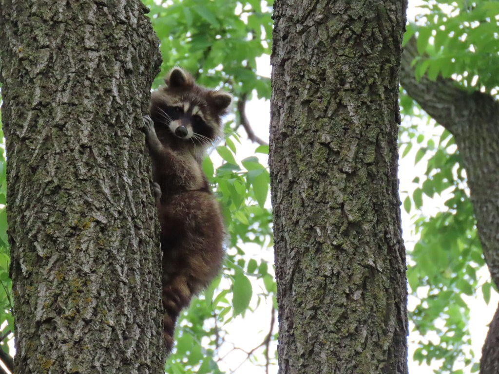 raccoon climbing tree