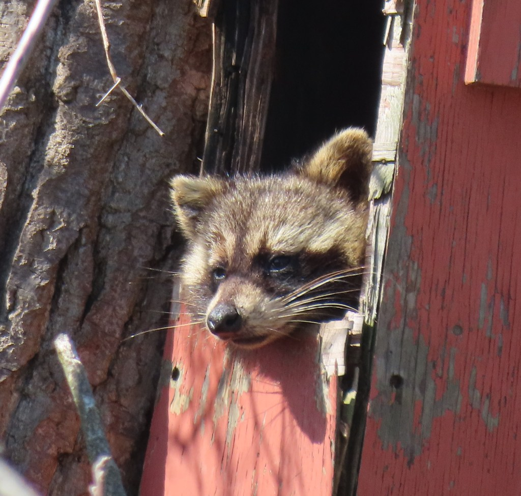 raccoon in red owl box