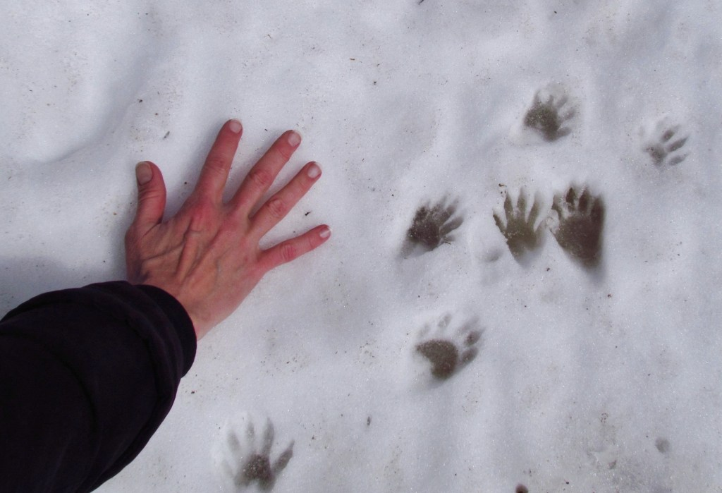 snowy raccoon tracks