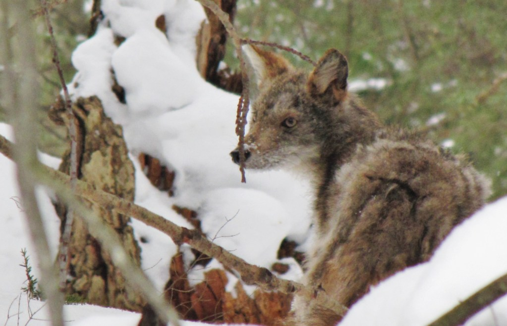coyote and snowy branch
