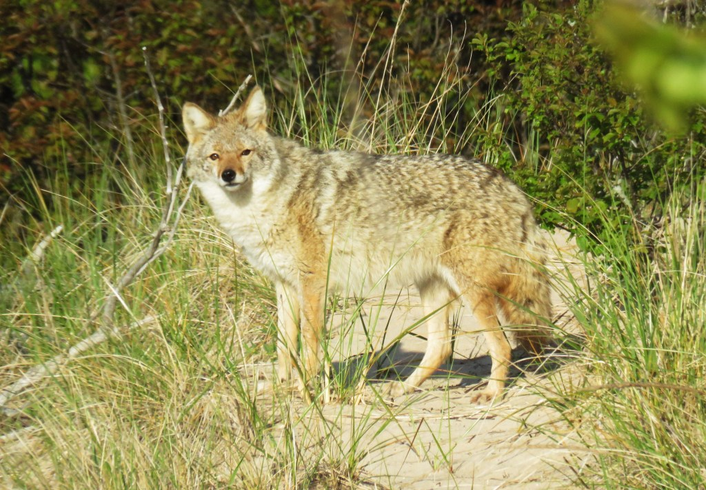 coyote in green forest