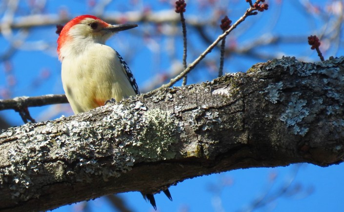 woodpecker on tree branch