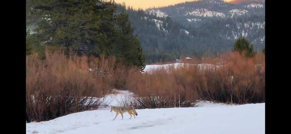 coyote in snowy woodland