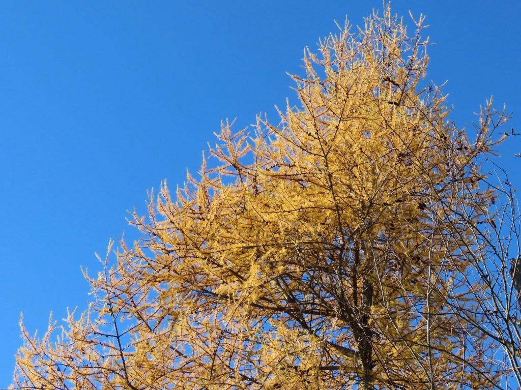top of yellow tamarack