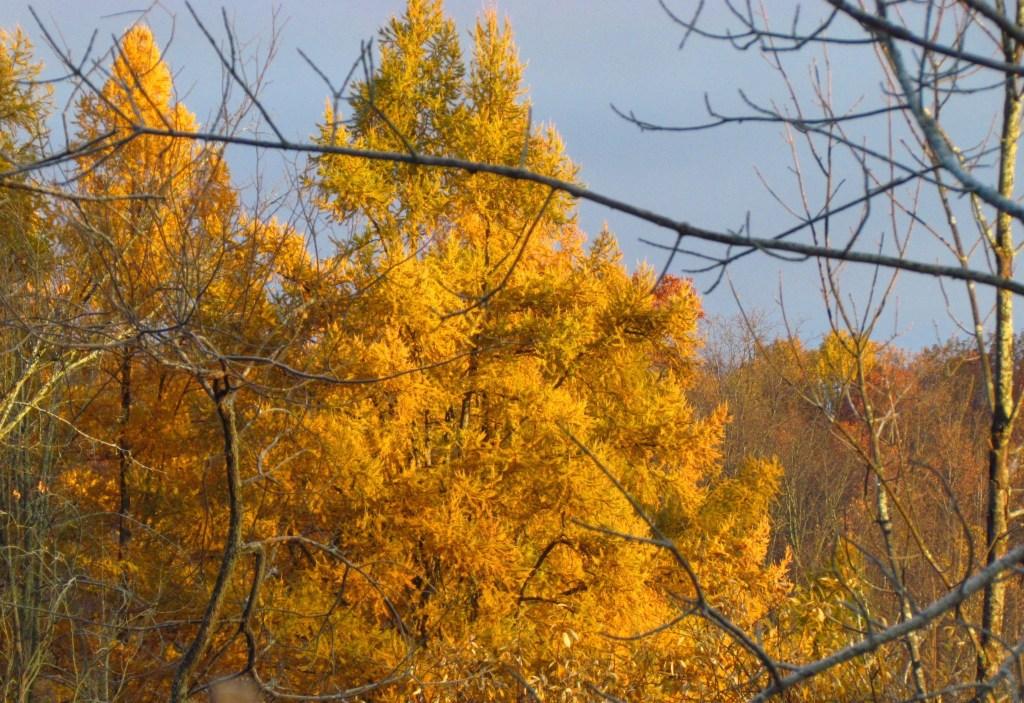yellow tamarack