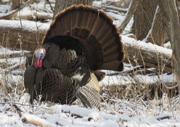 tom turkey snowy ground