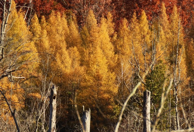 yellow tamarack trees