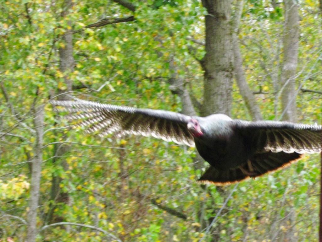 wild turkey gliding