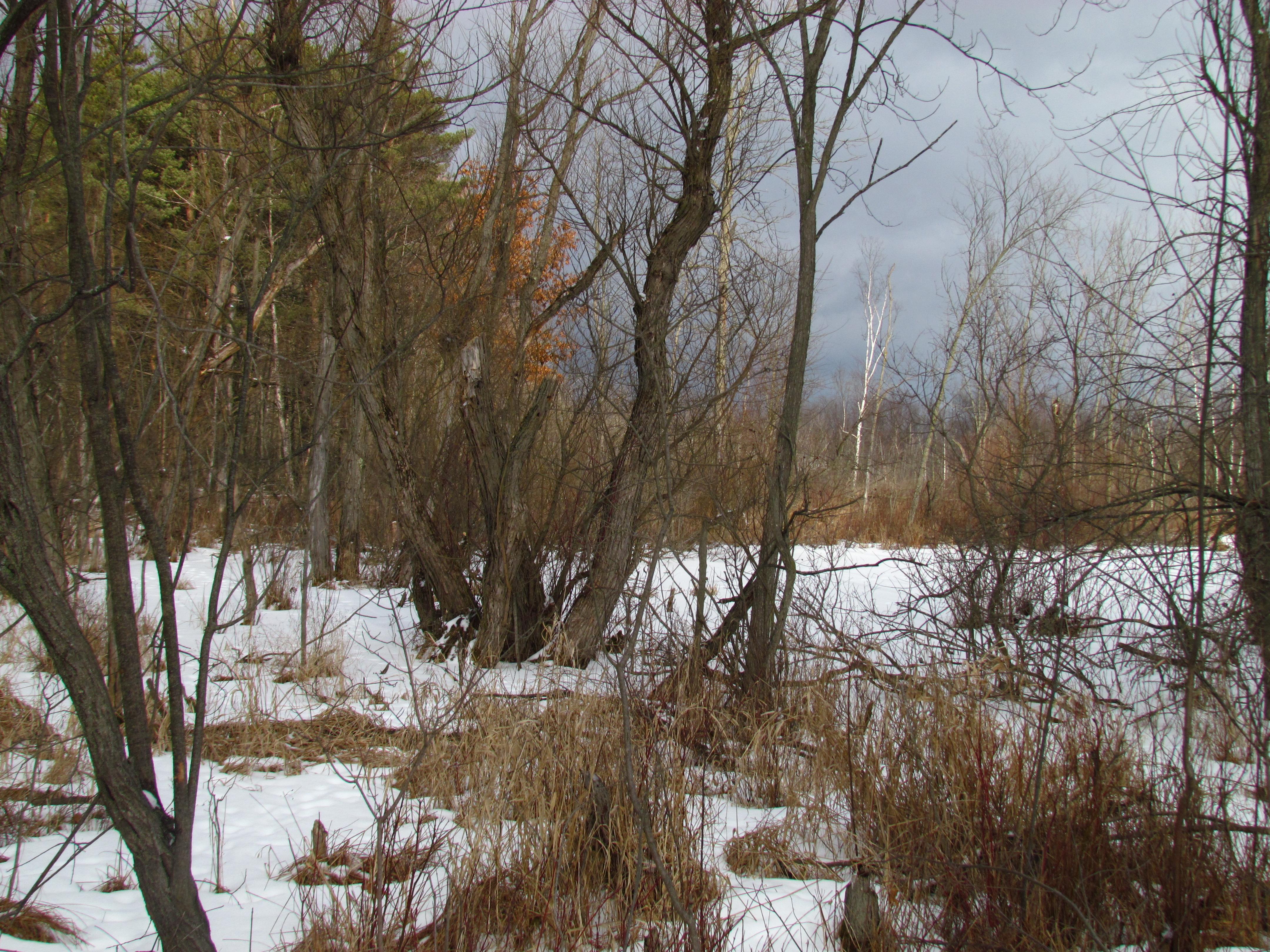 winter coyote marsh habitat