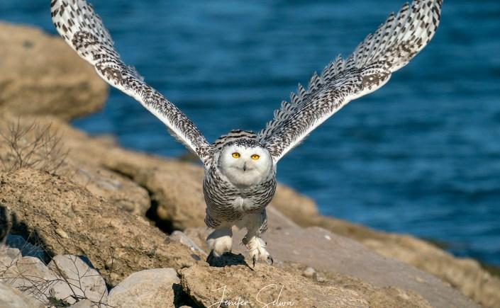 Snowy Owl flying on shoreline