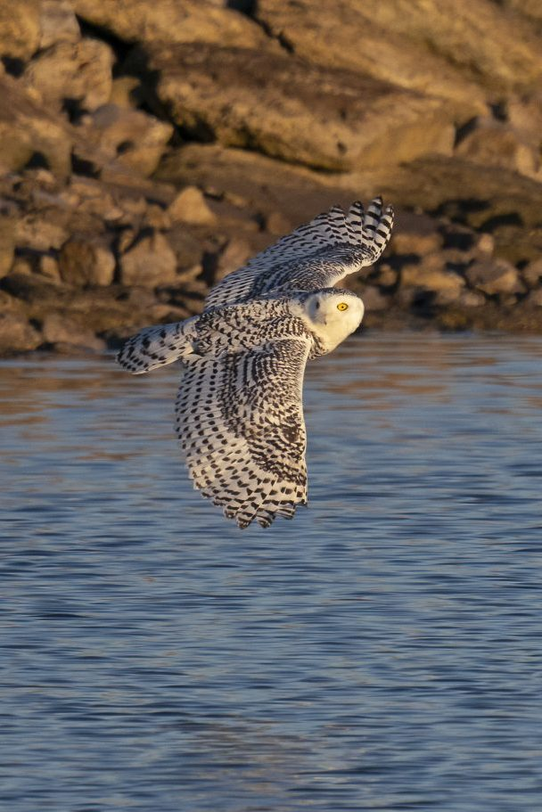 snowy owl soaring above water