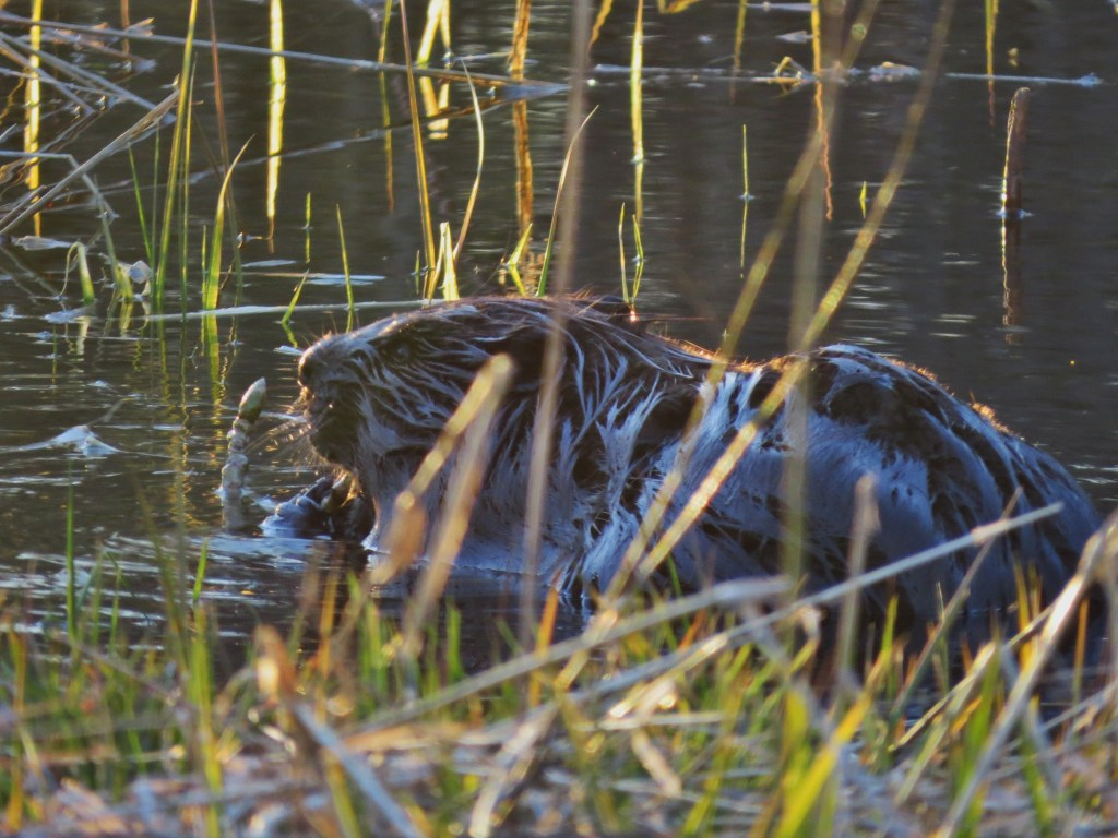 beaver in water chewing