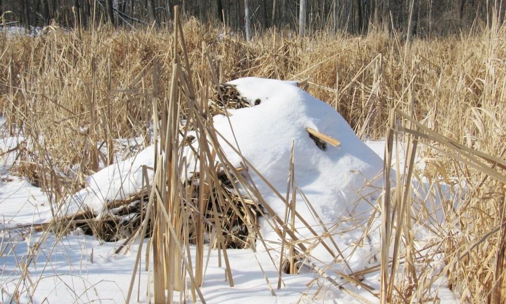 muskrat lodge in snow