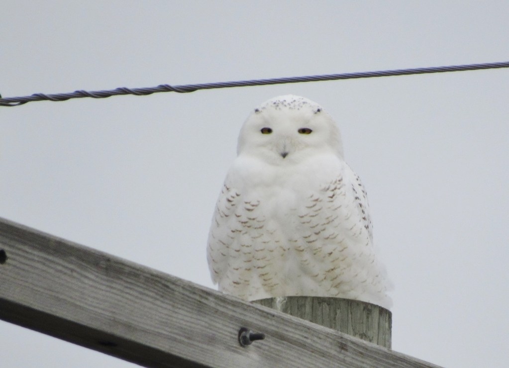 white snowy owl perched