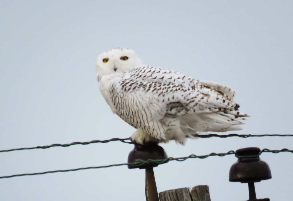 White snowy owl on phone line