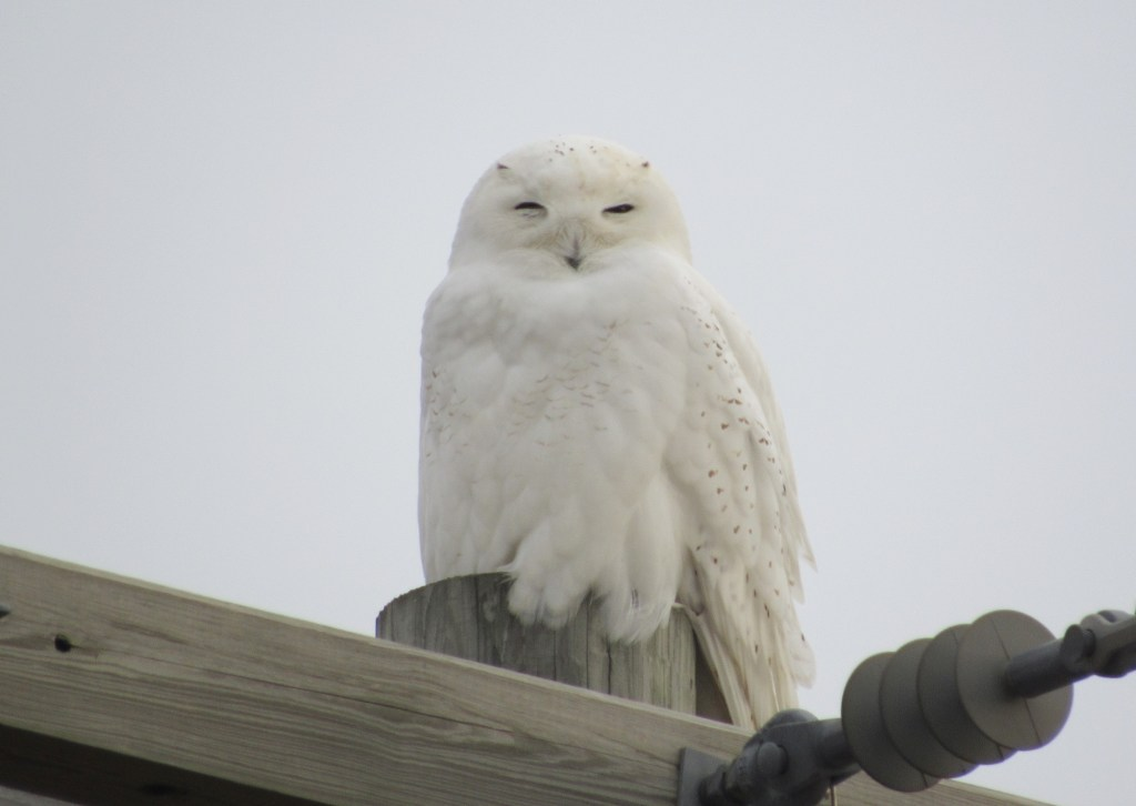 white Snowy Owl on telephone wire