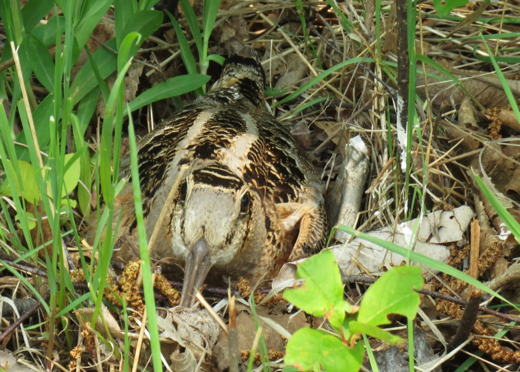 A timberdoodle (woodcock) camouflaged in the grasses of a forest floor.
