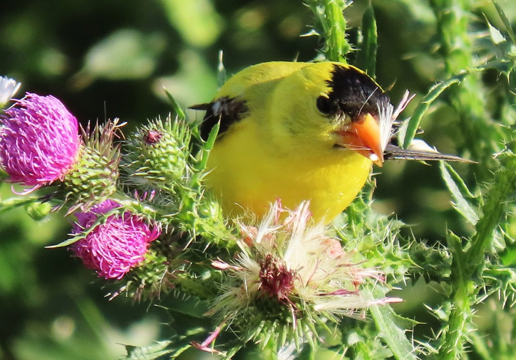 An American Goldfinch perched on thistle, gathering its seeds.