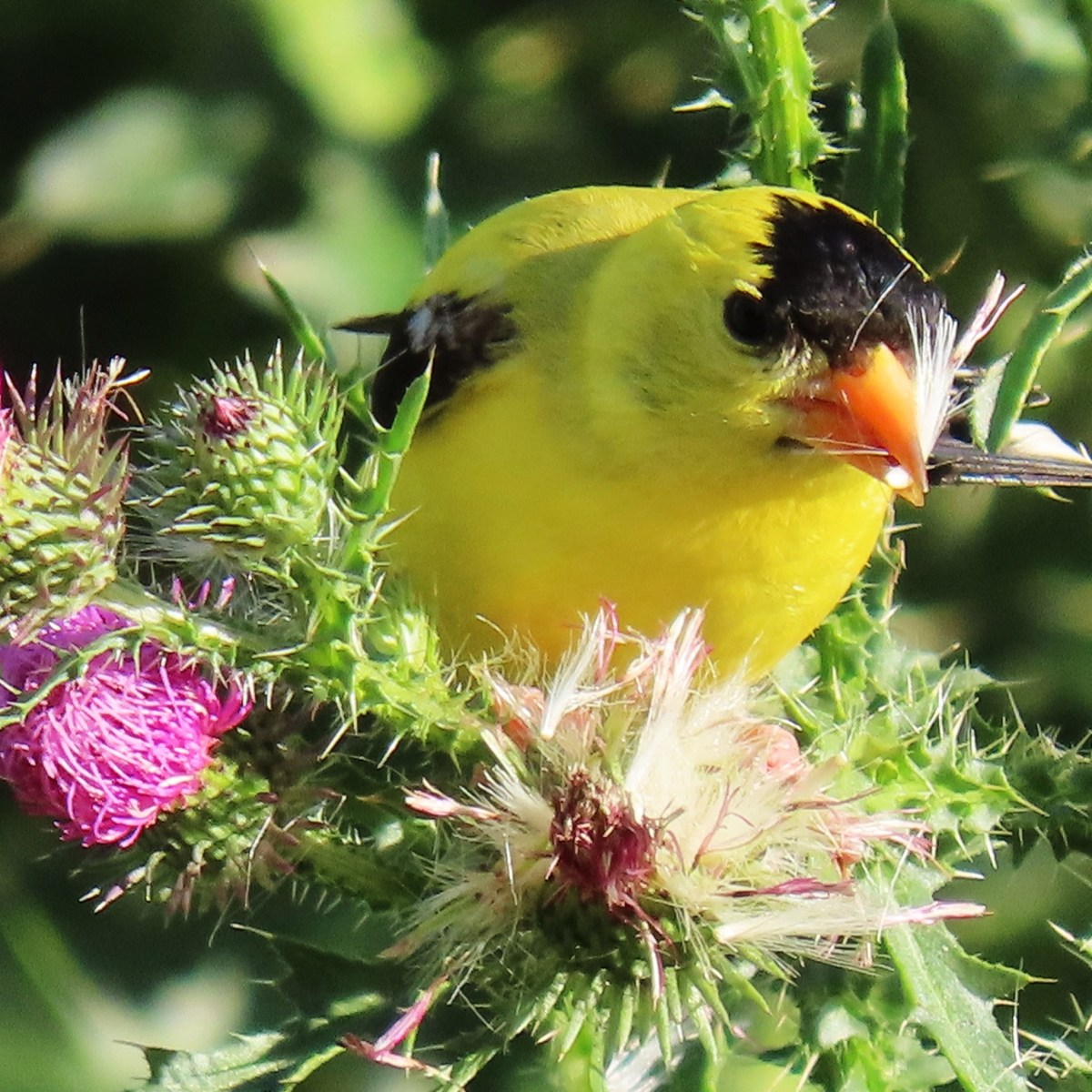 An American Goldfinch gathering thistle seeds