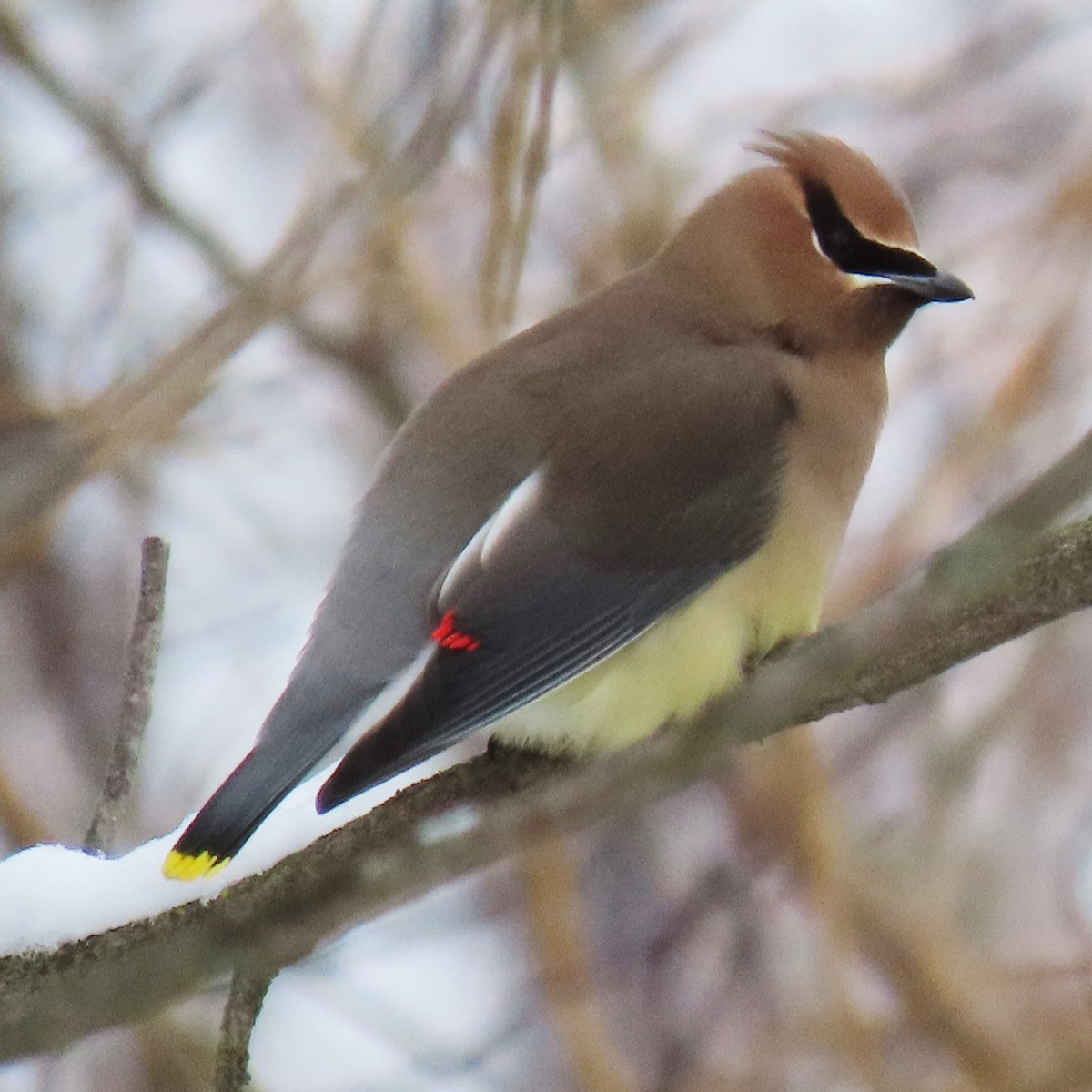 Cedar Waxwing on a snow-covered branch
