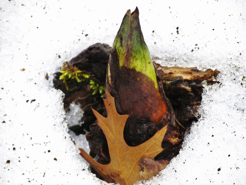 Skunk cabbage emerging from snow