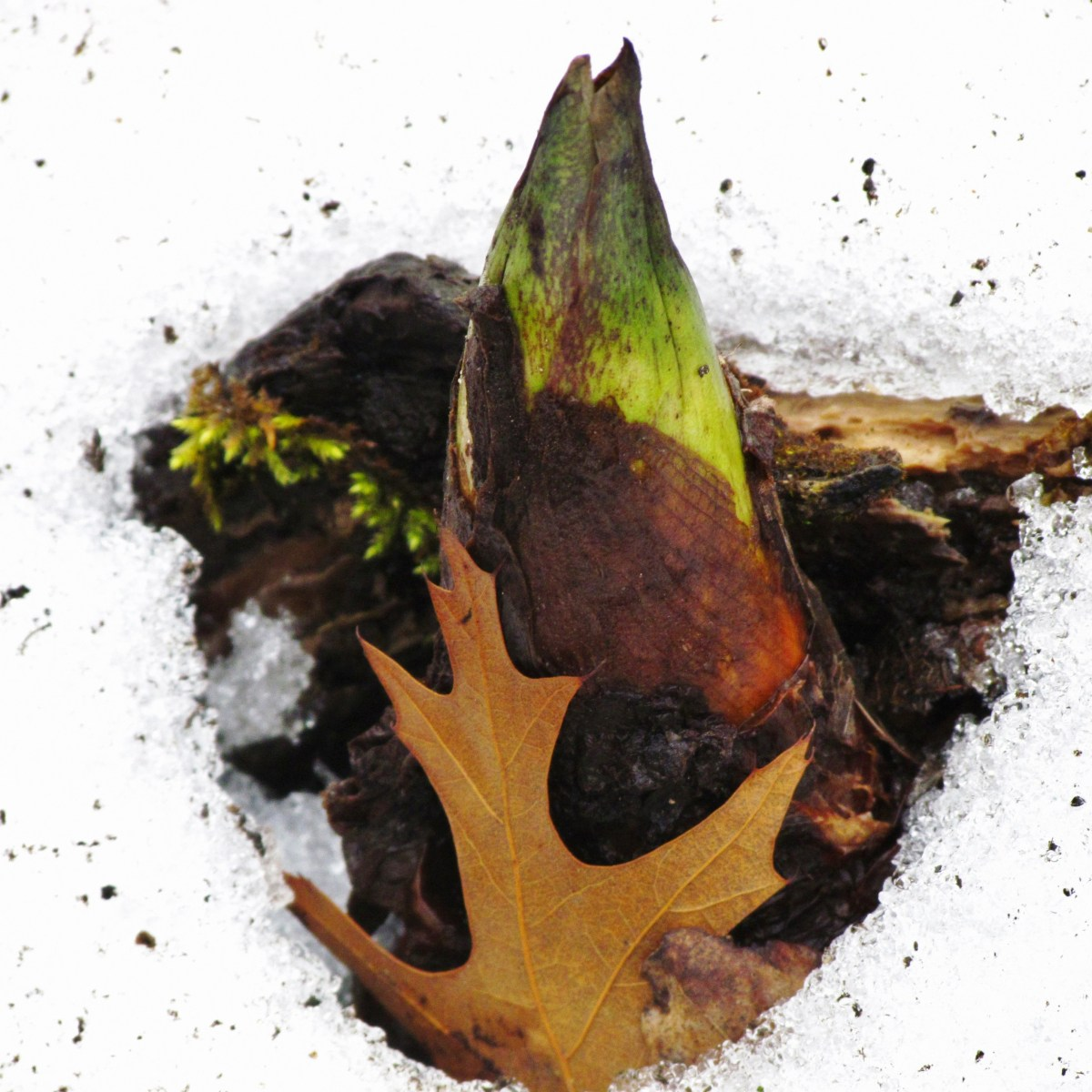 A skunk cabbage plant pushes through the snow