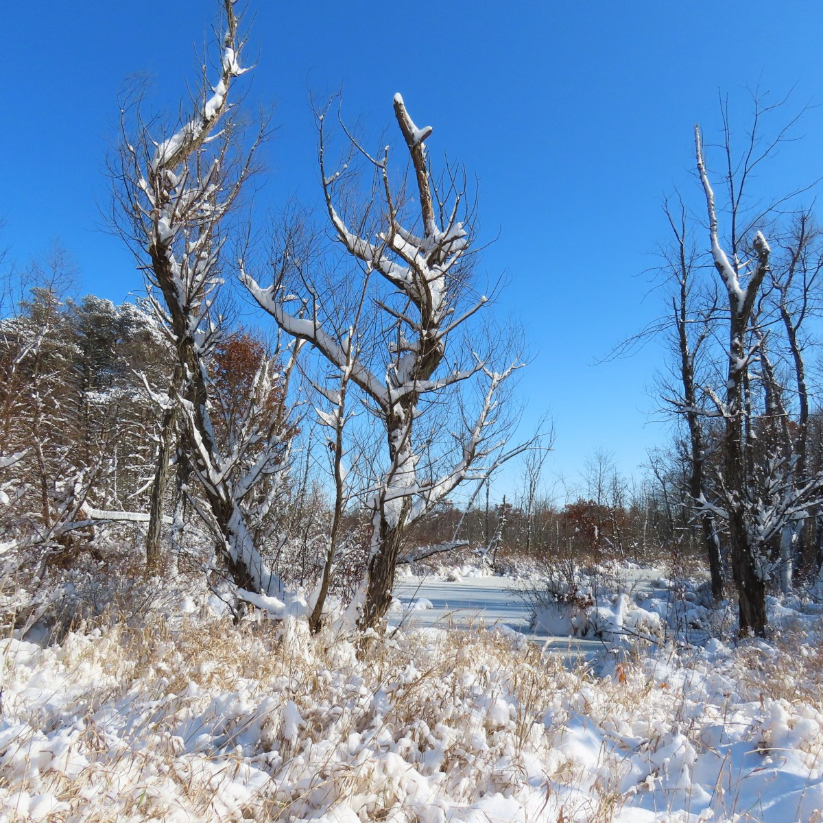 A swampy woodland covered in snow