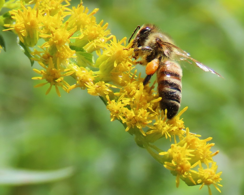 Honey bee collecting pollen on goldenrod