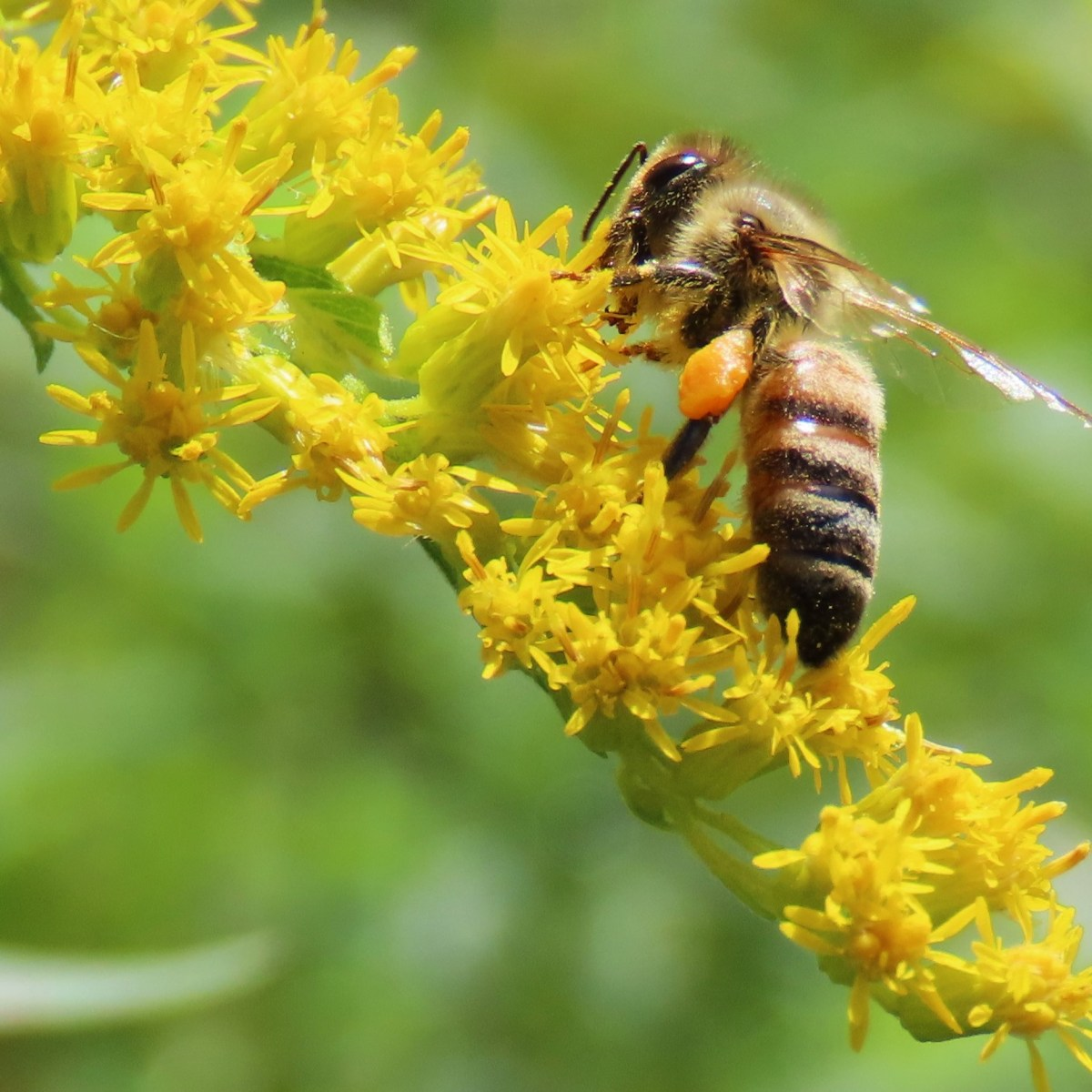 A honey bee harvests pollen from goldenrod blooms