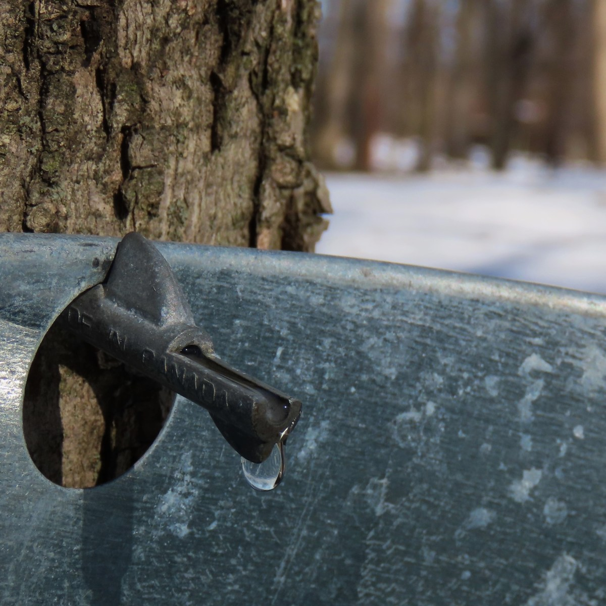 Sap drips from a maple tap into a tin bucket