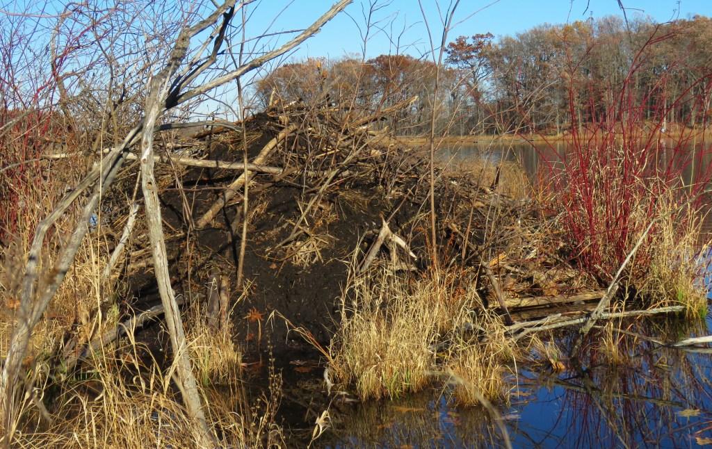 A beaver dam near the edge of a lake in the fall