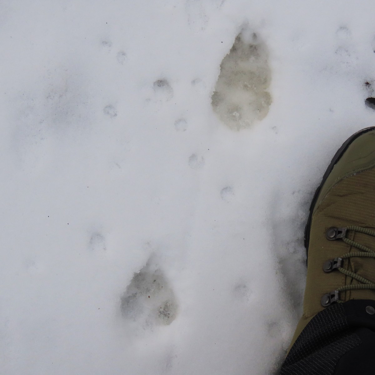 Coyote tracks in the snow next to a boot to demonstrate size