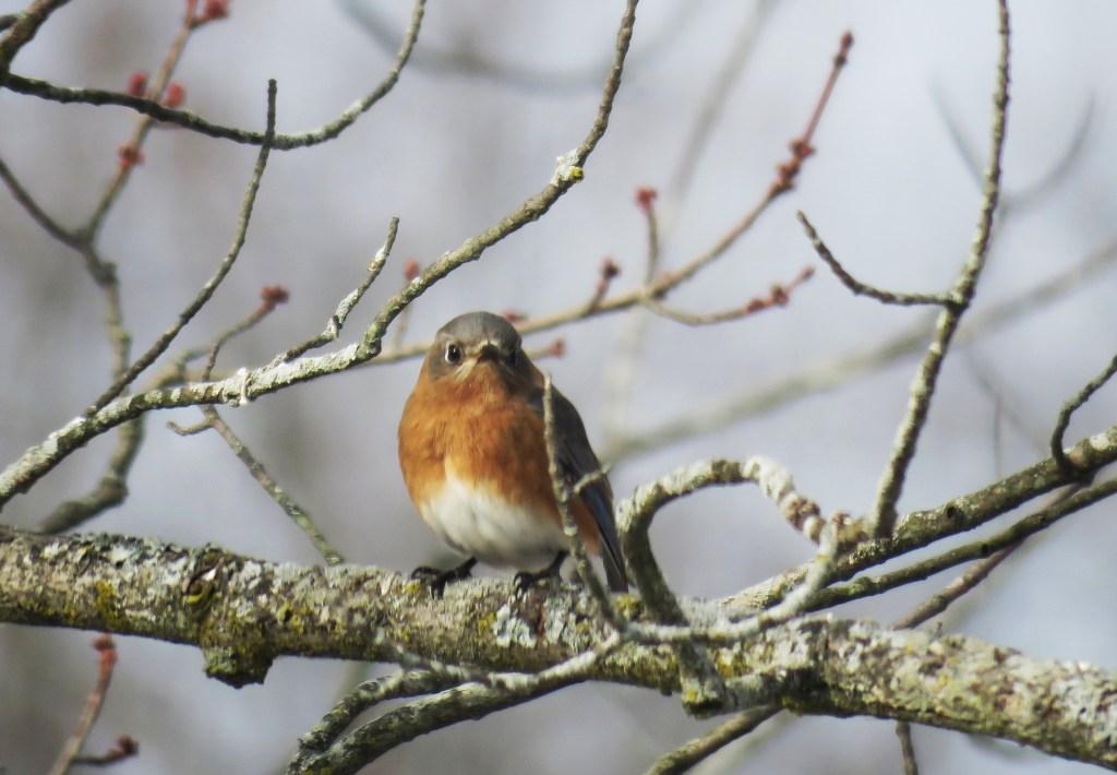 Eastern Bluebird on Red Maple tree branch