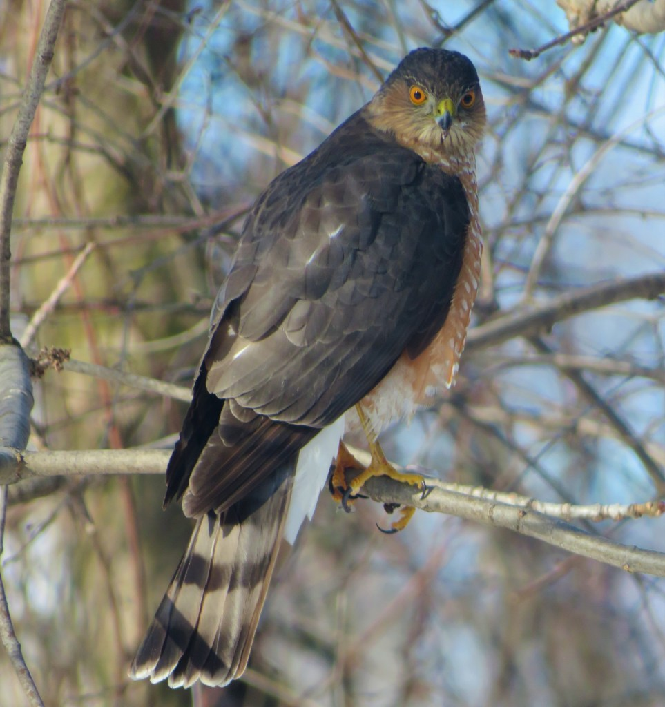 A Sharp-shinned hawk perched in a tree
