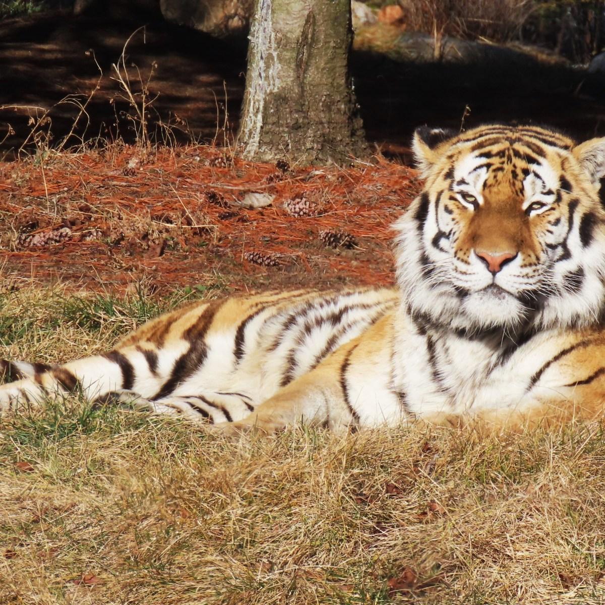 An Amur Tiger lies in the sun