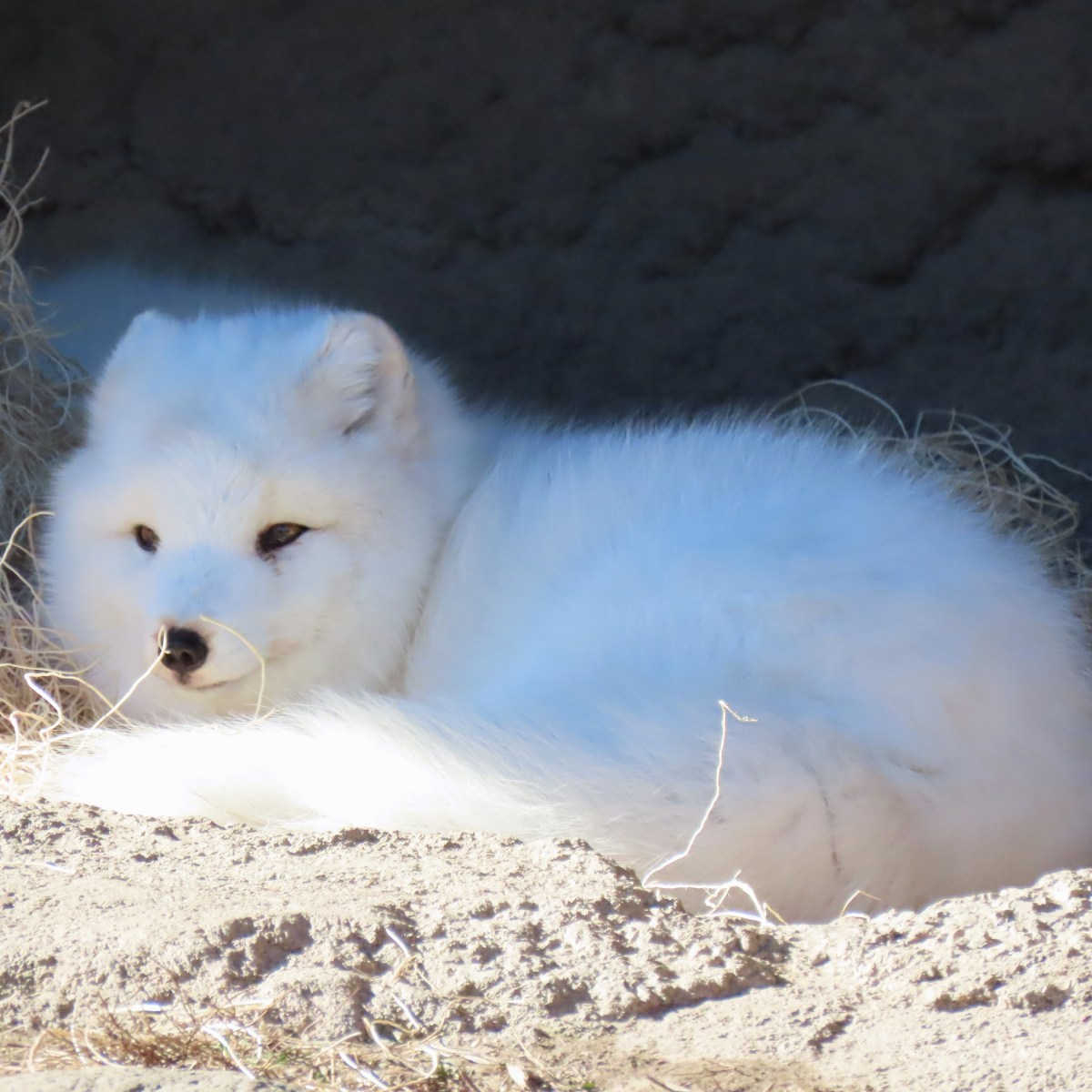 An arctic fox rests in a partially sunny spot