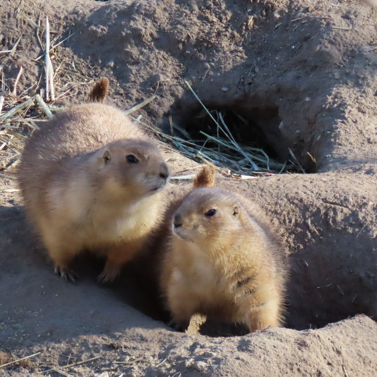 Two black-tailed prairie dogs stand next to each other in their outdoor zoo enclosure